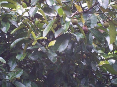 Mangostein