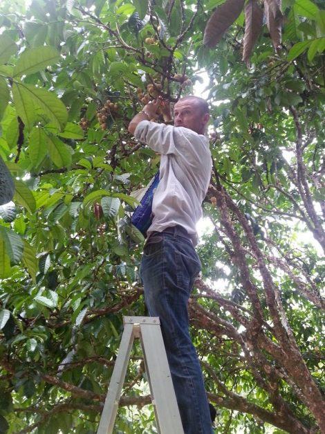 Picking Longon Fruit