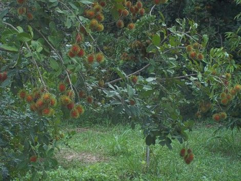 Rambutan on tree