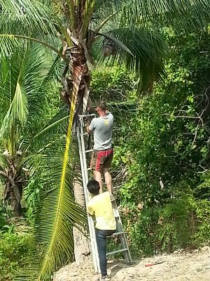 Maintaining coconut trees