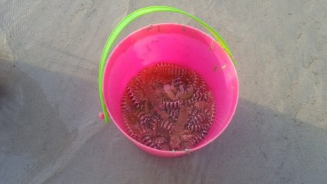 Bucket of Sand Crayfish