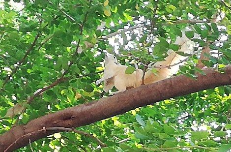 White Oriental Tree Squirrel at Lumtakong Lake